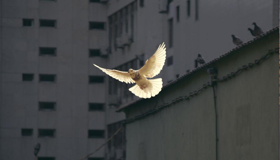 letici holubice